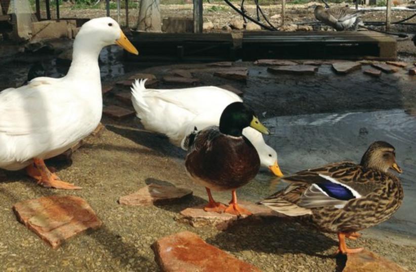 Ducks roam around the Duck Village in Kfar Baruch. (photo credit: MEITAL SHARABI)