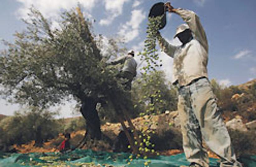olive harvest 88 248 (photo credit: )