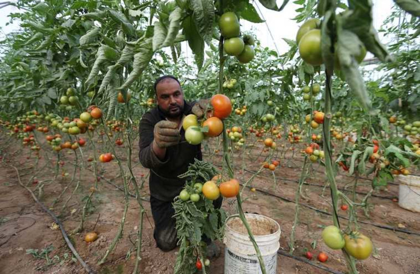 Palestinian farmer picks tomatoes to be exported into Israel, on a farm in Deir El-Balah in the central Gaza Strip. (photo credit: REUTERS)