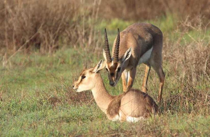 Two gazelles rest at the newly opened Gazelle Valley Urban Wildlife Park (photo credit: JERUSALEM MUNICIPALITY)