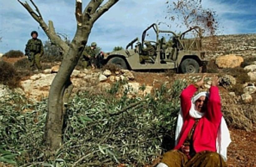 palestinian olive trees  (photo credit: AP)