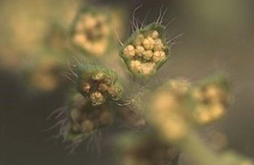 ambrosia pollen 248 88 (photo credit: Courtesy)