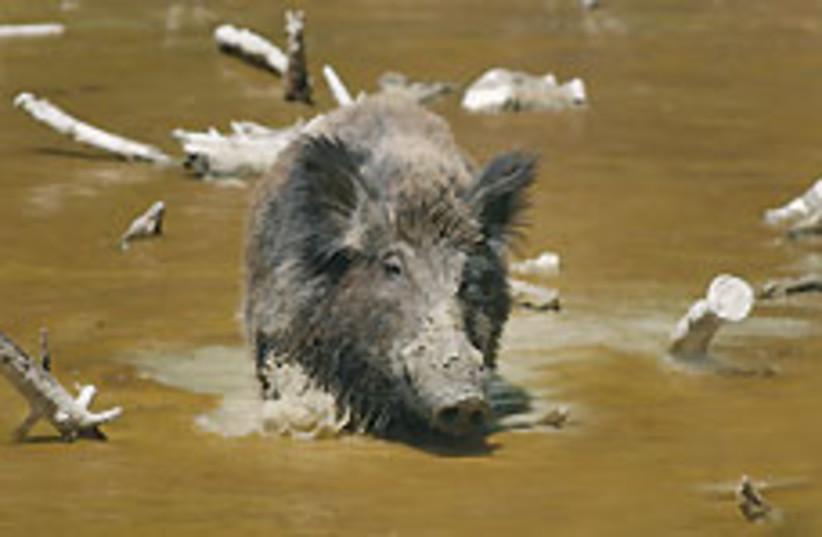 wild boar 88 248 (photo credit: Courtesy)