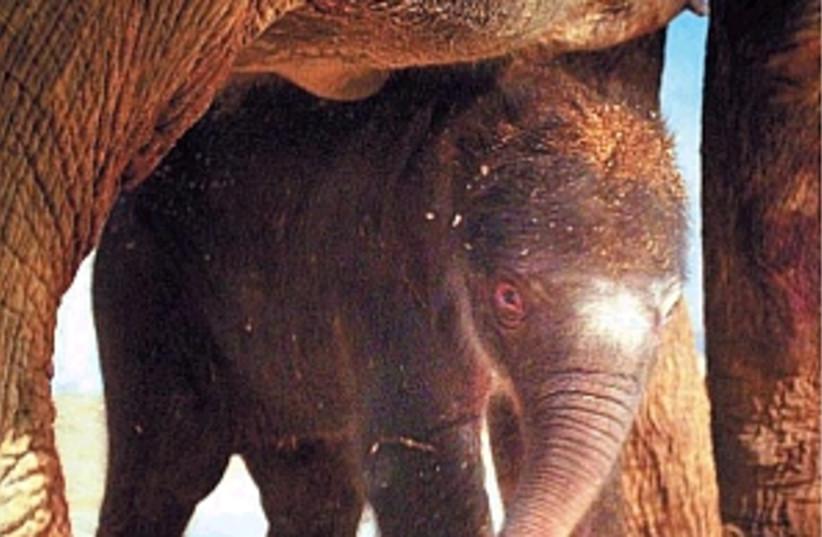 elephant born 298 88 (photo credit: Alex Kolomoisky/Pool)