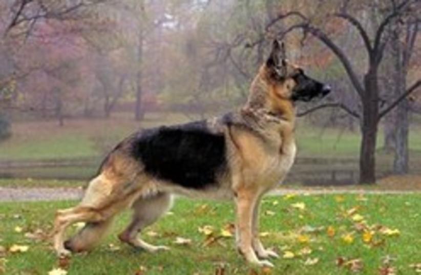 german shepherd 248.88 (photo credit: Courtesy )