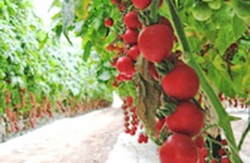 cherry tomatoes 248.88 (photo credit: Courtesy)