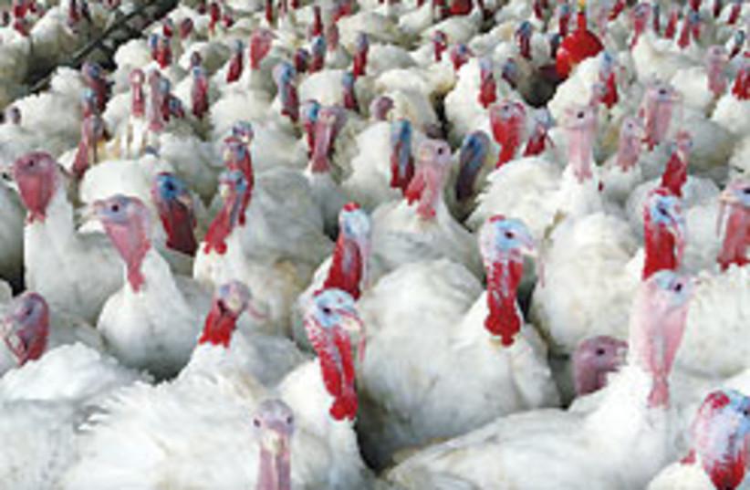 turkeys 88 248 (photo credit: Ariel Jerozolimski)