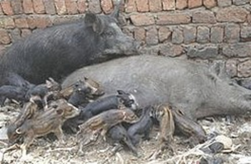 Young pigs 248.88 (photo credit: AP)