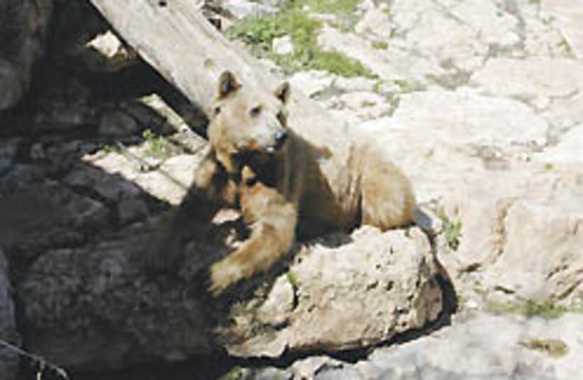 bear 248.88 (photo credit: Stuart Winer)