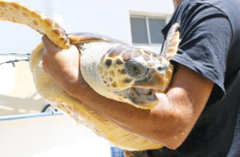 man with turtle 88 248 (photo credit: Ariel Jerozolimski)