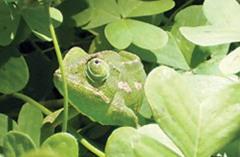 Chameleon 88 248 (photo credit: Diana Barshaw)