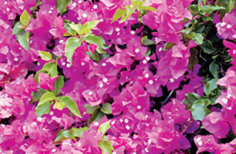 Bougainvillea 88 248 (photo credit: Courtesy of Forest and Kim Starr)