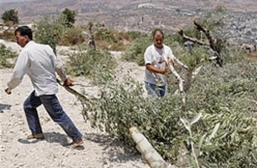 settler riots cut olive trees 248.88 (photo credit: AP)