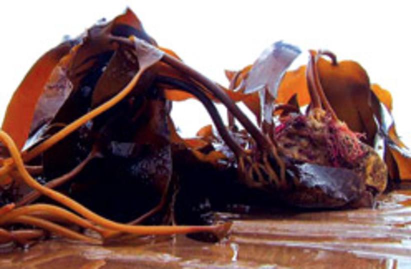 seaweed 88 248 (photo credit: )