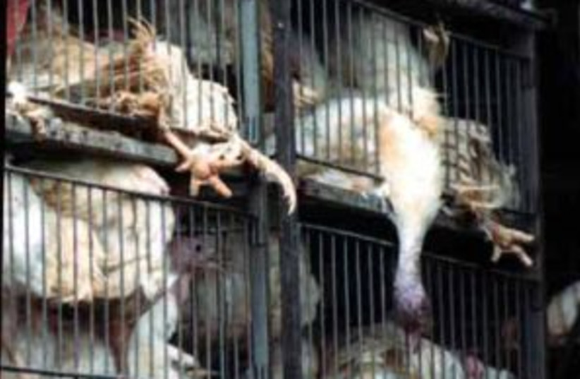 chickens in cages (photo credit: Anonymous for Animal Rights)