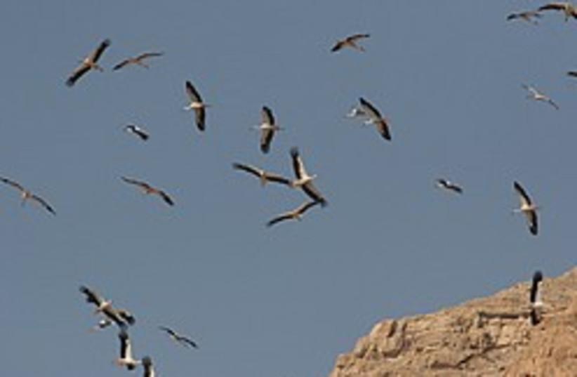 storks desert 248 88  (photo credit: Courtesy International Center for Bird Migration R)