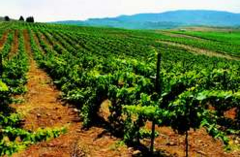kayoumi vineyard 248.88 (photo credit: Yakiss Kidron/Carmel Wineries)