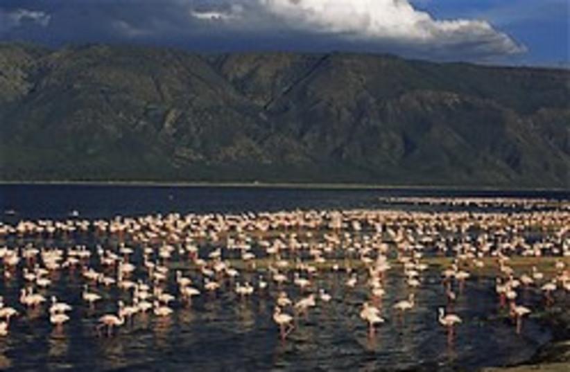 tanzania nature reserve flamingoes 248 (photo credit: )