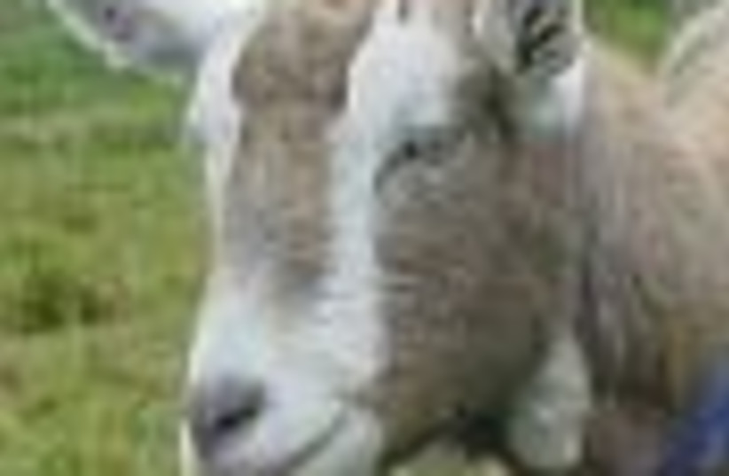 goat 88 (photo credit: )