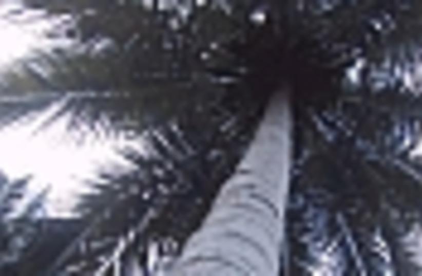 palm tree 88 (photo credit: )
