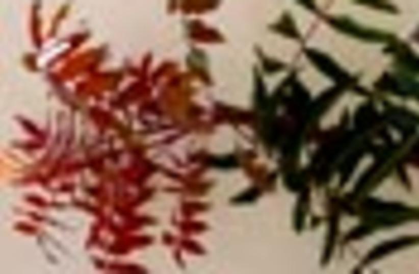 pistachio tree 88 (photo credit: )