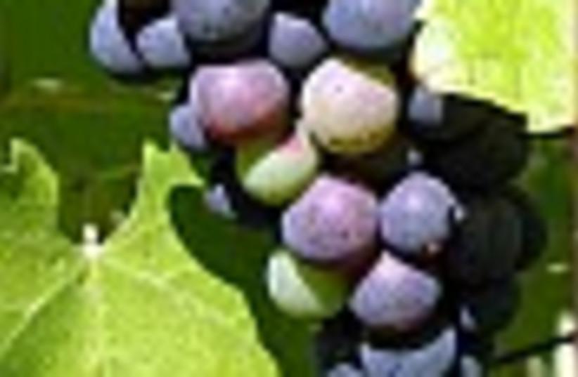 grapes 88 (photo credit: )