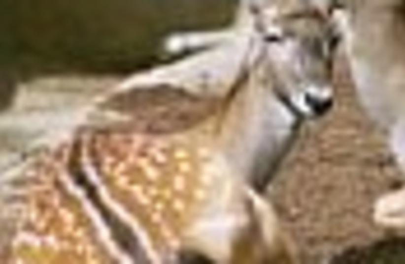 Persian fallow deer (photo credit: )