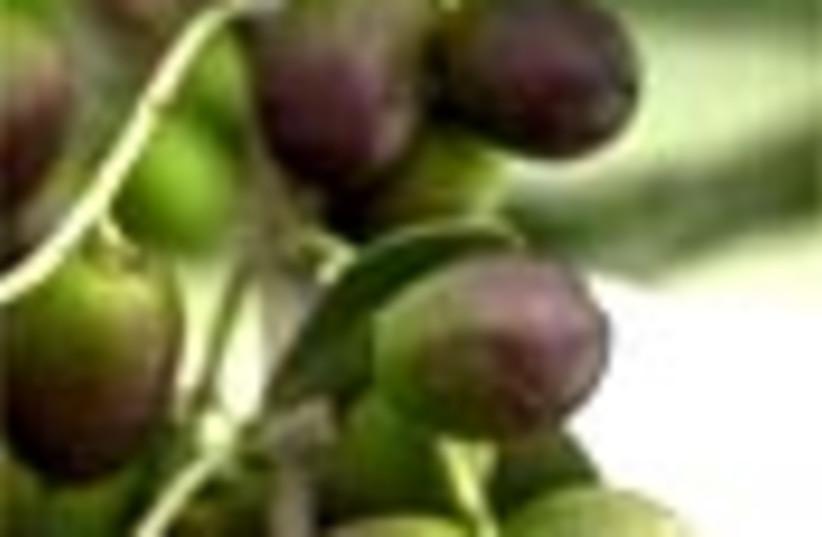 olives 88 (photo credit: )
