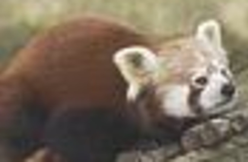 red panda 88 (photo credit: )