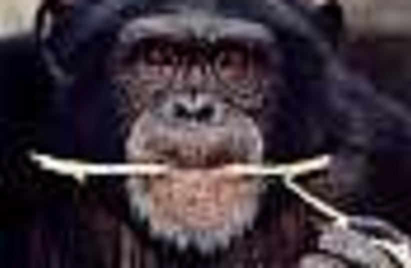 chimp 88 (photo credit: )