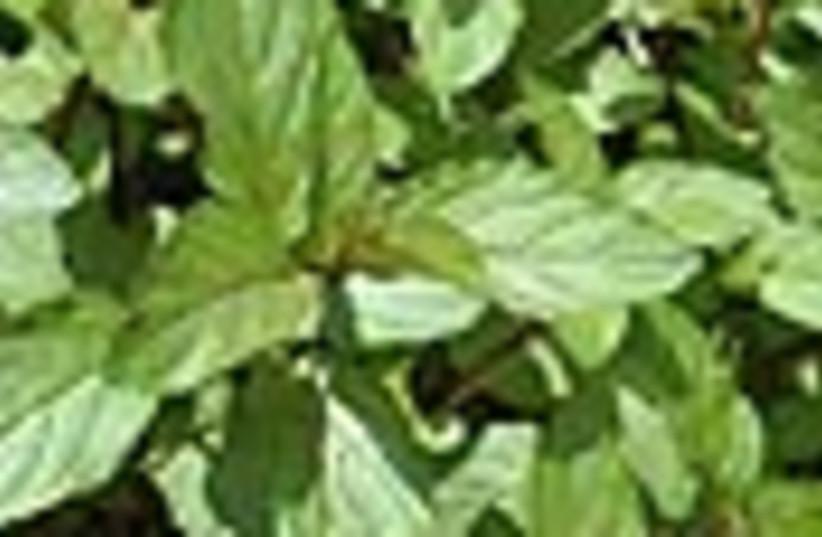 mint leaves 88 (photo credit: )