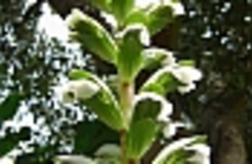 acanthus syriacus 88 (photo credit: )