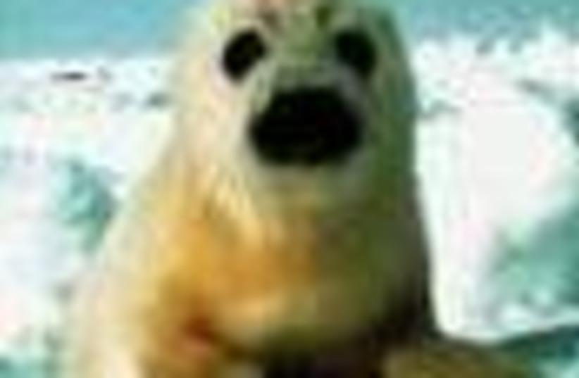 arctic seal 88 (photo credit: )