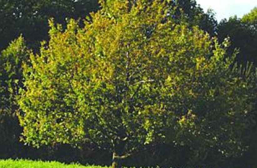 nice jlem tree 88.298 (photo credit: )