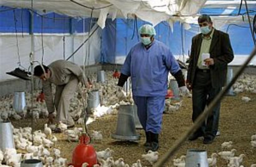gaza bird flu 298.88 (photo credit: Associated Press)