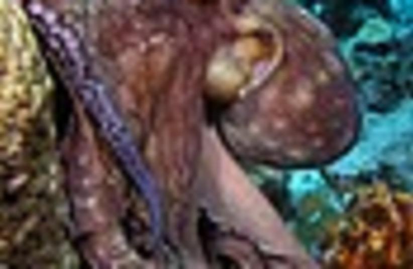 octopus 88 (photo credit: )