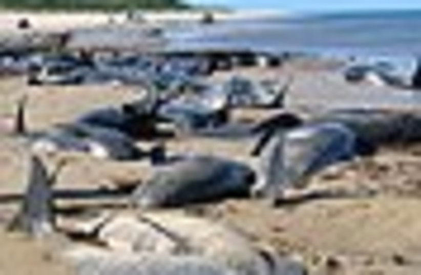 beached whales from ap (photo credit: )