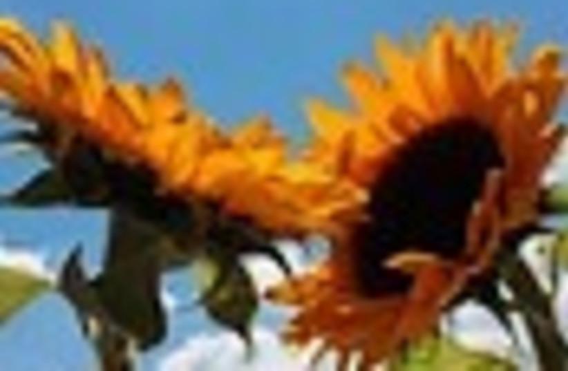 sunflowers (photo credit: )
