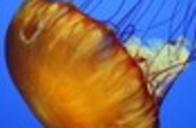 jellyfish 88 (photo credit: )