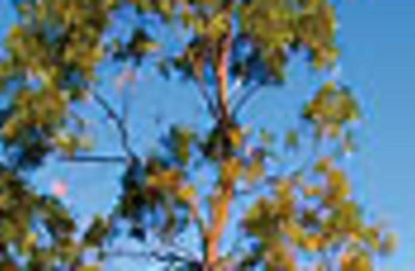 acacia tree 88 (photo credit: )