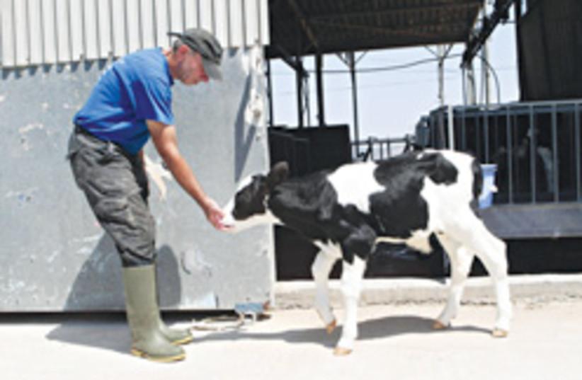 kibbutz feeding cow 248.88 (photo credit: Ariel Jerozolimski [file])