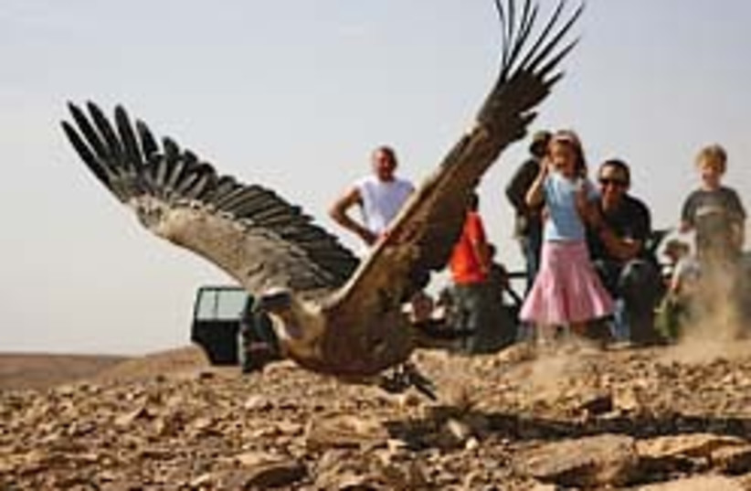 griffon vulture 248.88 (photo credit: Yoram Shpirer )