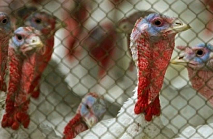 bird flu turkeys 298.88 (photo credit: AP)