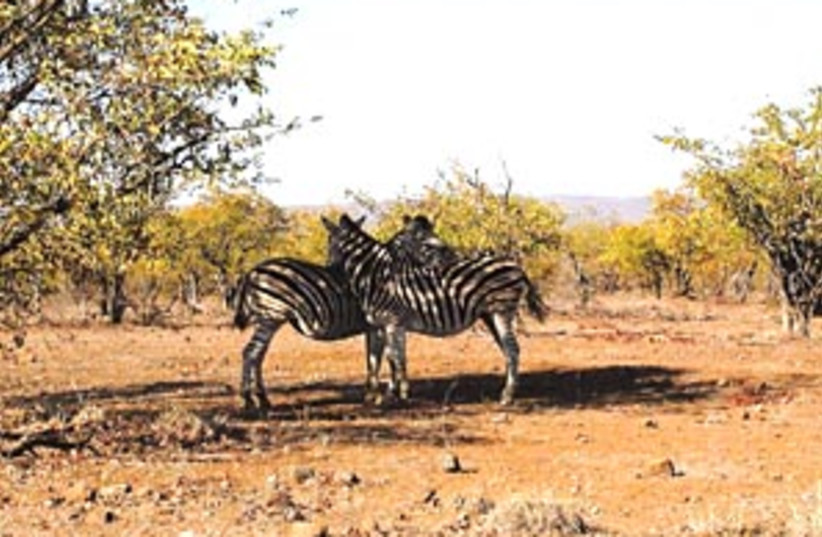 zebras 88 298 (photo credit: )