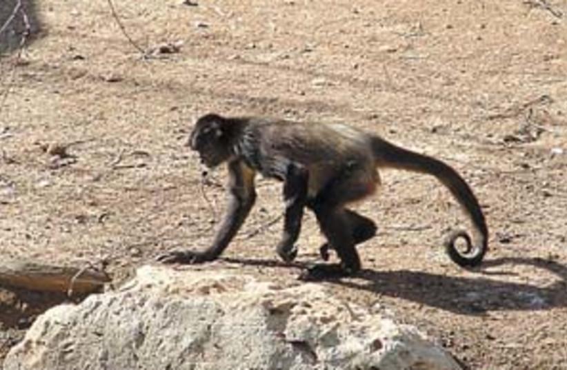 Monkey 298.88 (photo credit: Courtesy photo)