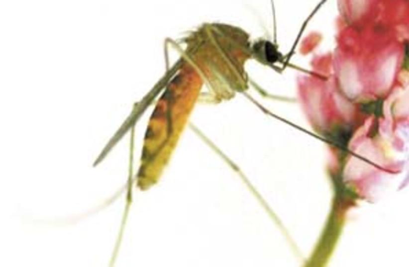 mosquito 298 (photo credit: Cunter Muller/ Hebrew University)
