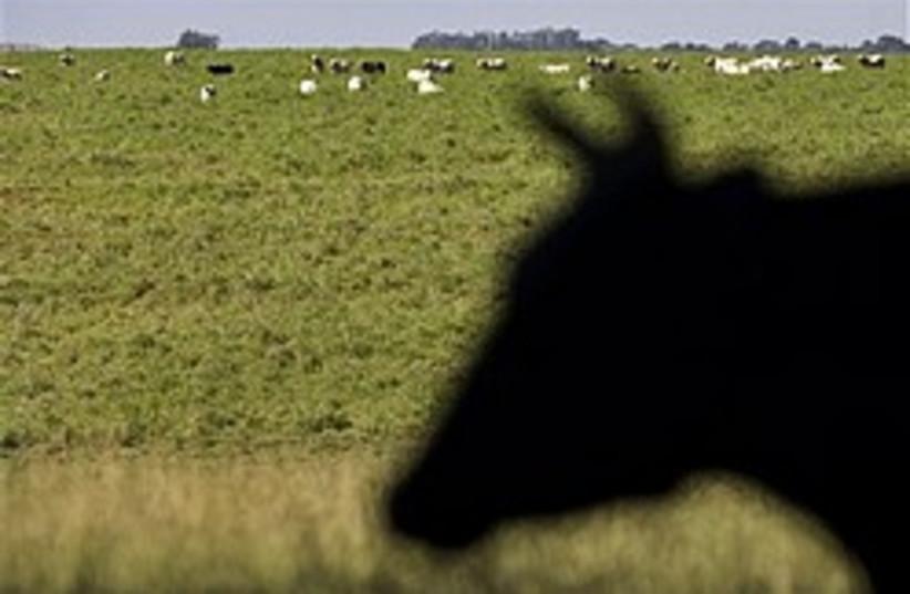 cattle 248.88 (photo credit: AP)