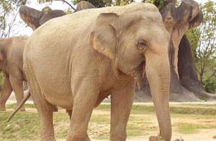 african elephant 298.88 (photo credit: Courtesy)