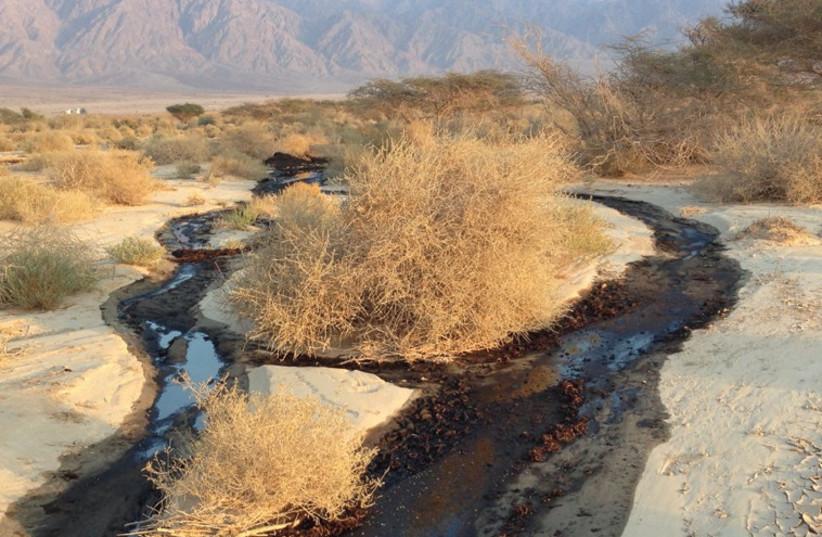 OIL SLICKS from the burst Eilat-Ashkelon pipeline blacken the Evrona Nature Reserve, threaten vegetation and endanger wildlife. (credit: NIV ELIS)