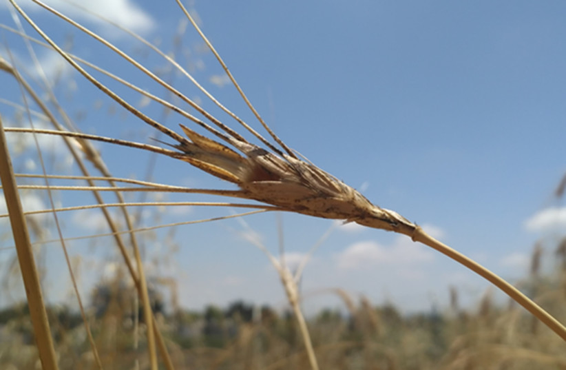 Wild Emmer wheat  (photo credit: RAZ AVNI OF TAU)